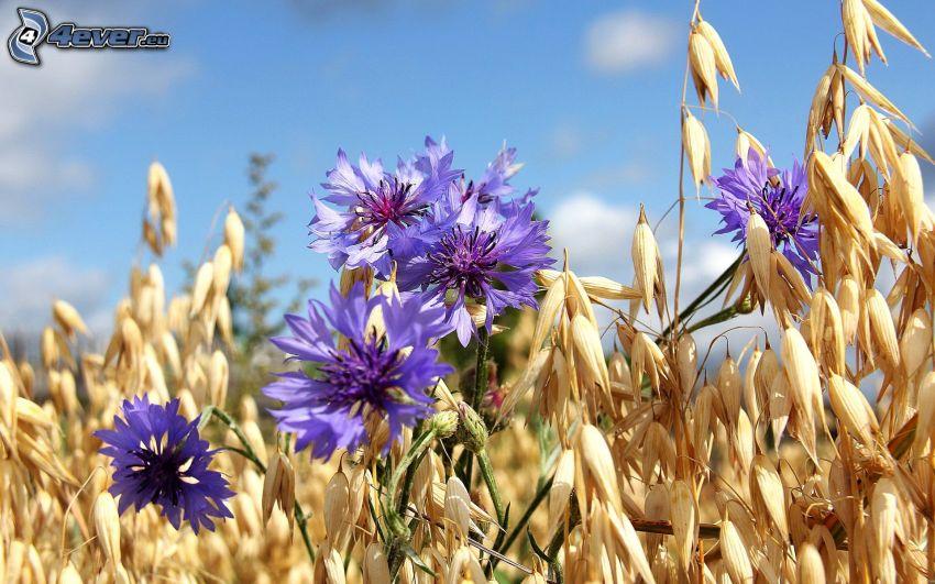 aciano, flores de coolor violeta, hierba seca
