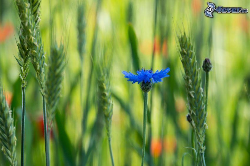 aciano, paja de hierba, flor azul