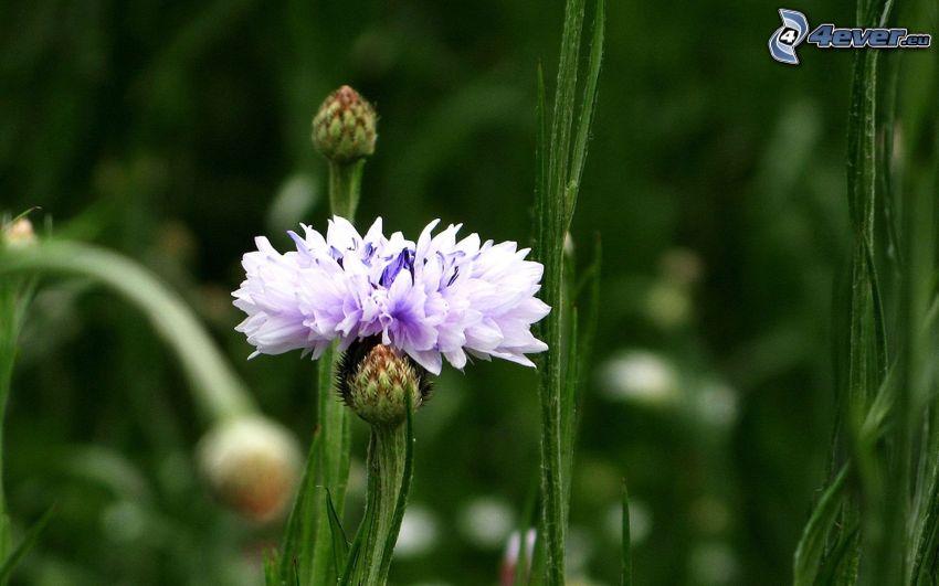 aciano, paja de hierba