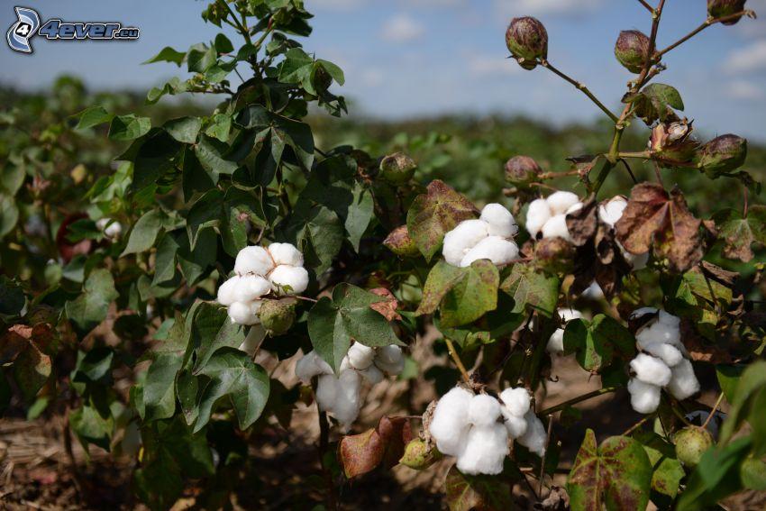 algodón, arbusto