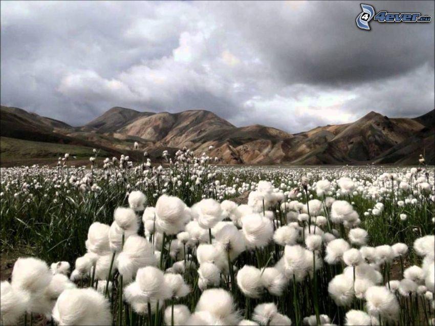 algodón, sierra