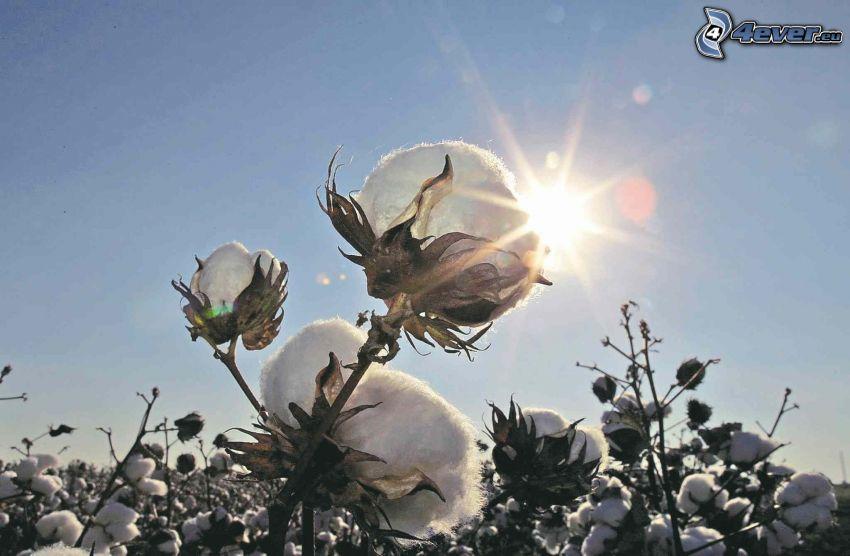 algodón, sol