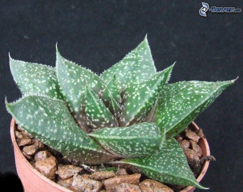 Aloe aristata, piedras