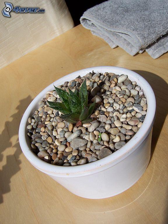 Aloe aristata, tiesto, piedras, toalla