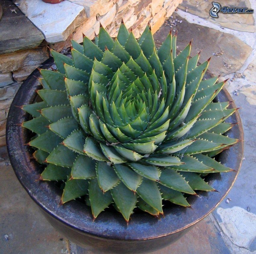 Aloe aristata, tiesto