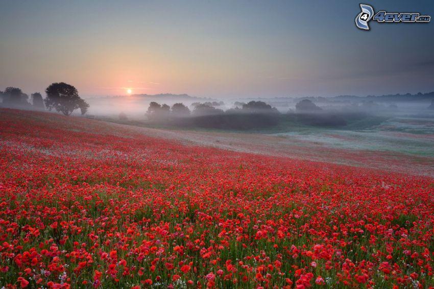 amapola, campo, puesta del sol, árboles, niebla baja