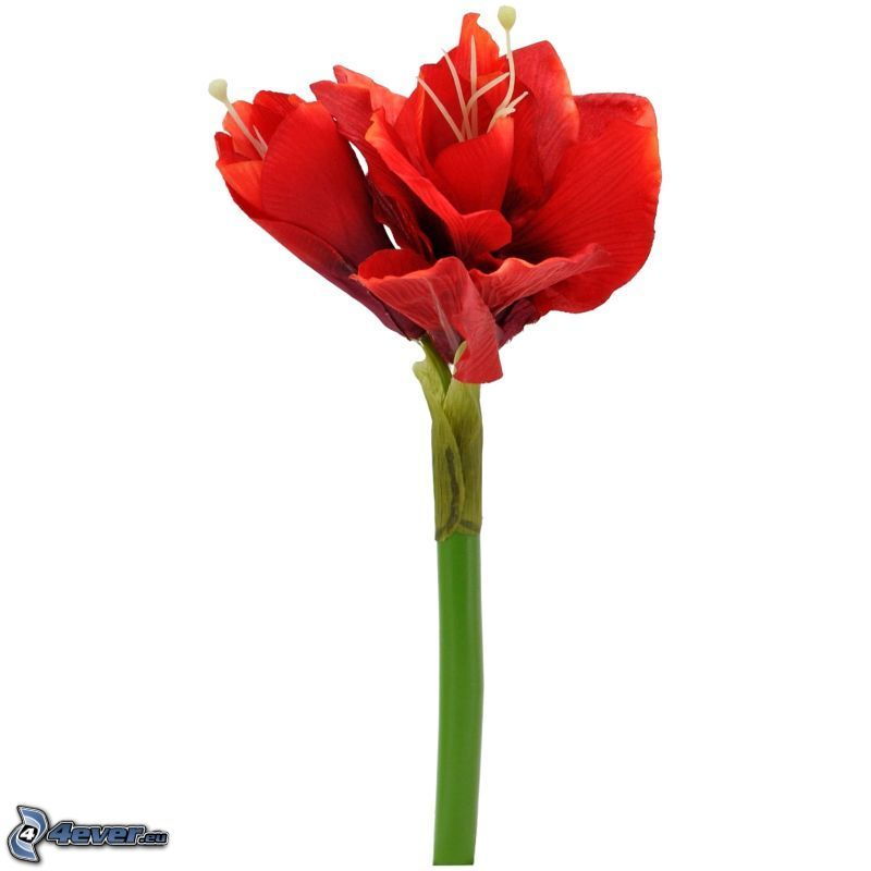 Amaryllis, flor roja