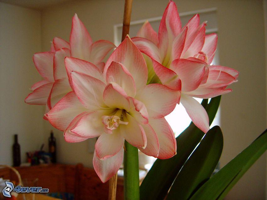 Amaryllis, flores de color rosa