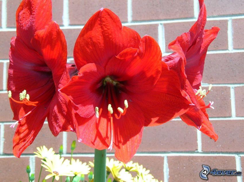 Amaryllis, flores rojas, pared de ladrillo