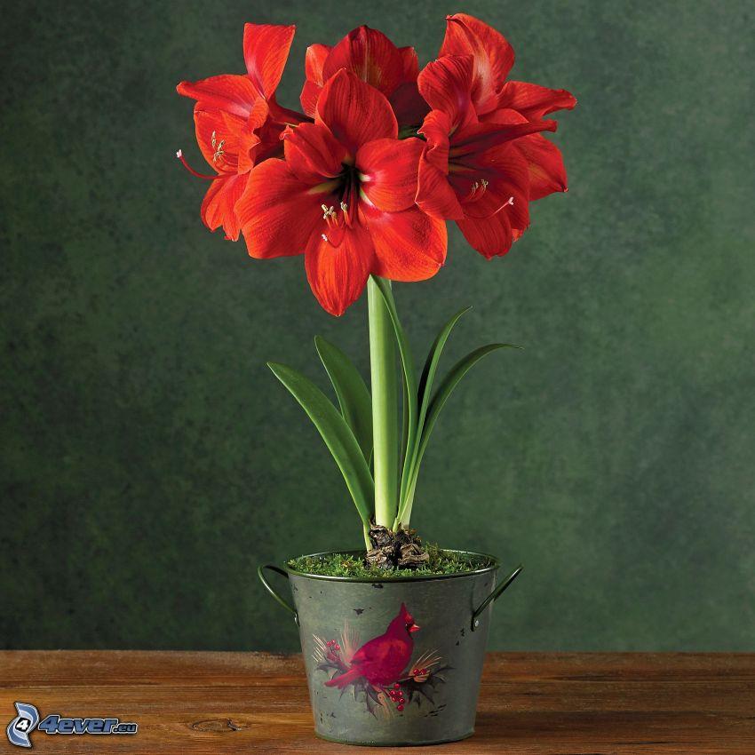 Amaryllis, flores rojas, tiesto