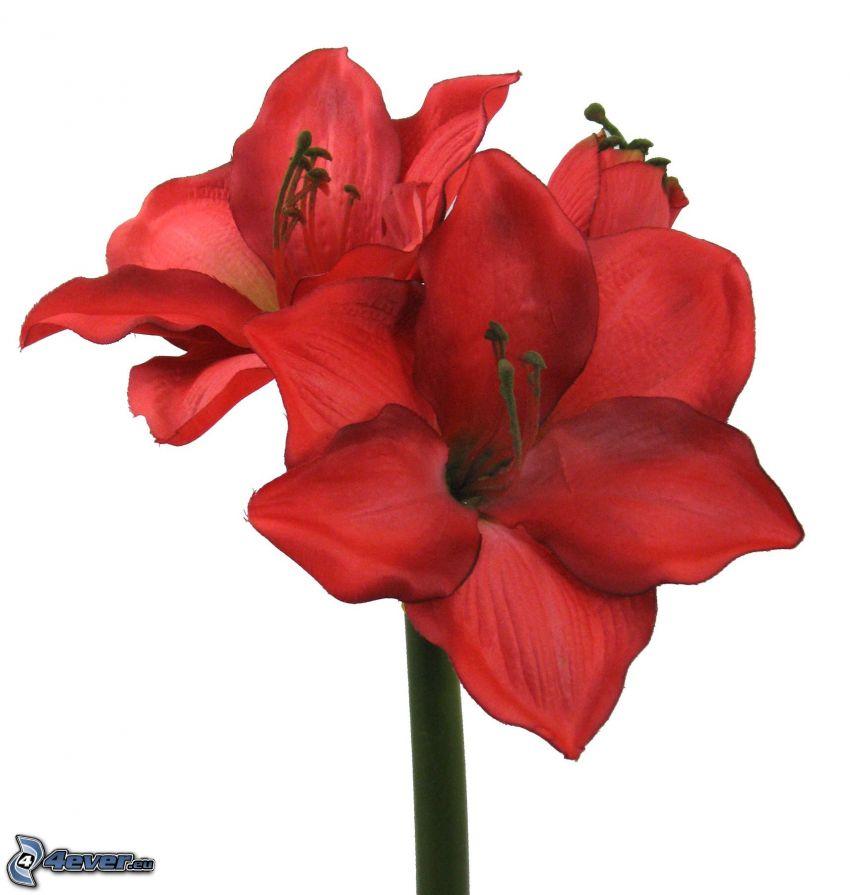 Amaryllis, flores rojas