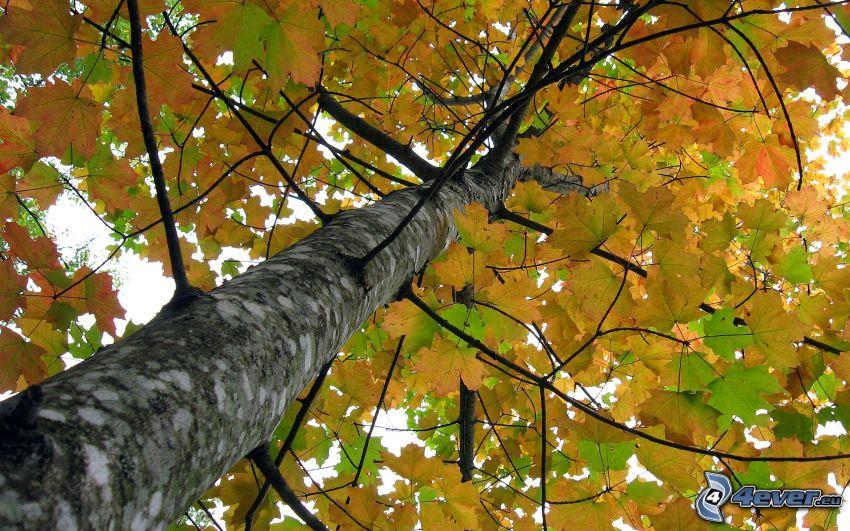 árbol, hojas amarillas