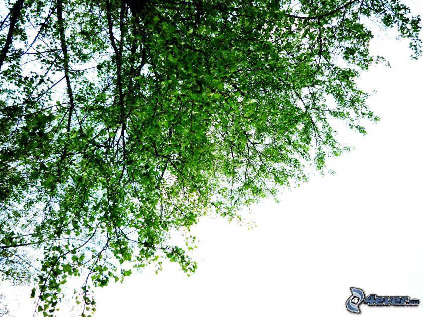 árbol, hojas verdes