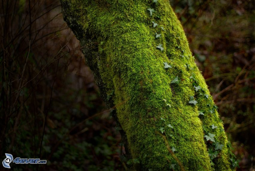 árbol, musgo, hiedra