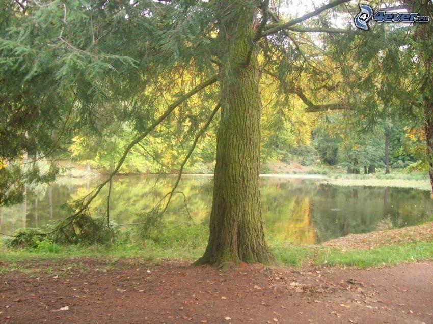 árbol cerca de un lago, conífera, agua, bosque