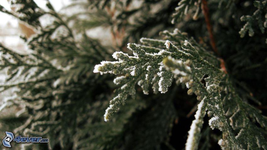 árbol conífero nevado