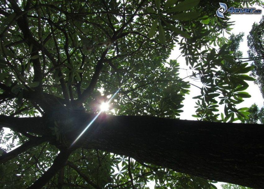 árbol de hoja caduca, sol