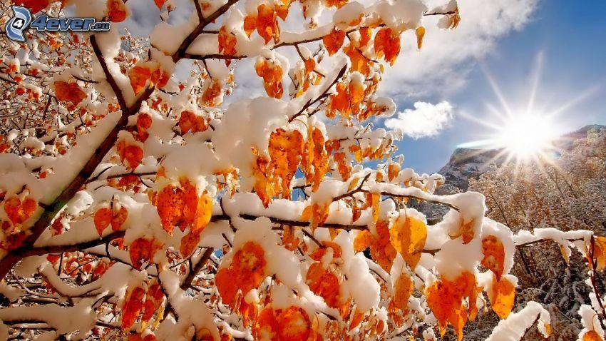 árbol nevado, árbol otoñal, sol