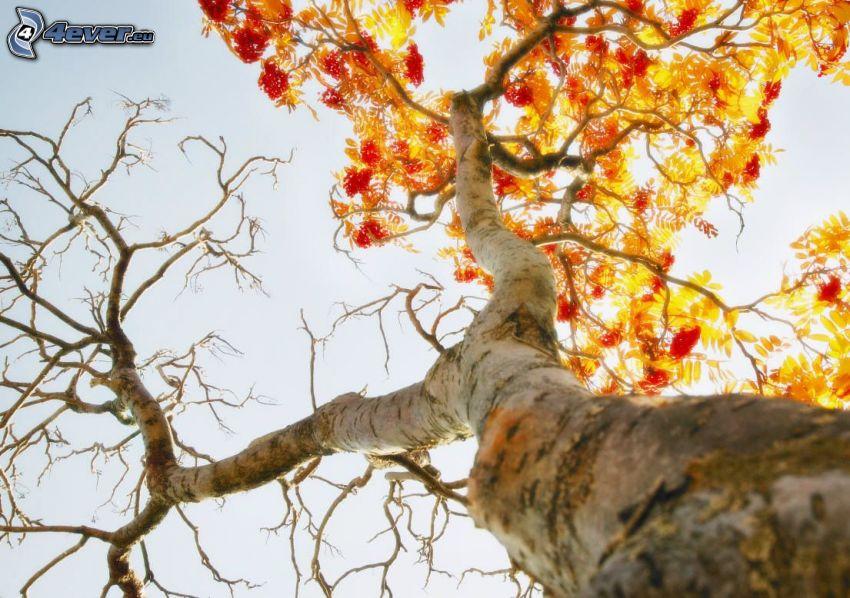 árbol otoñal, hojas amarillas, tribu