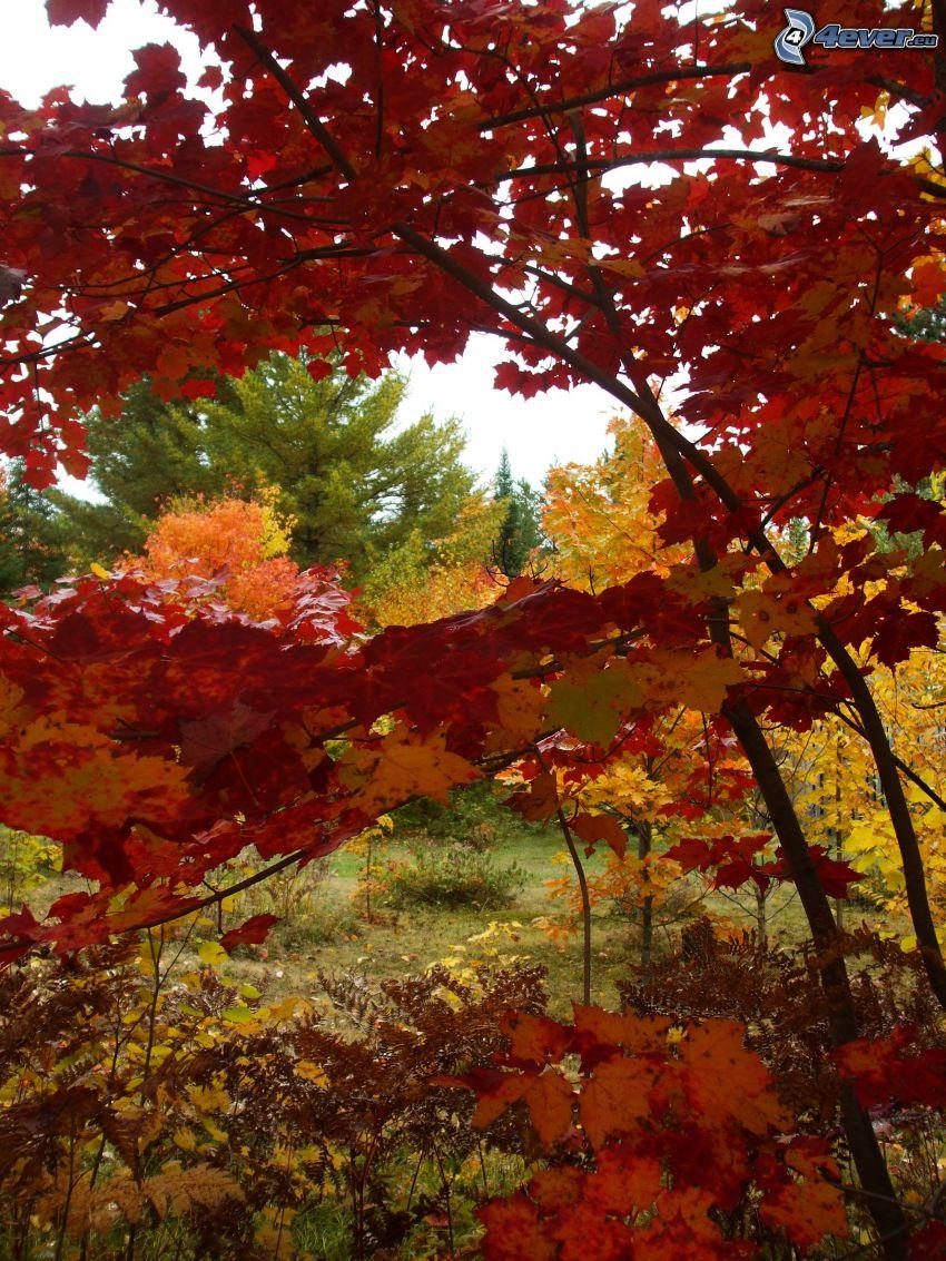 árboles otoñales, hojas rojas
