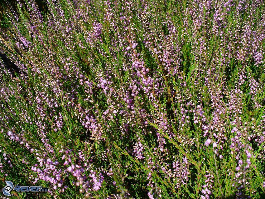brezo, arbusto, flor púrpura