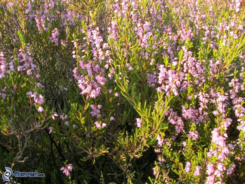brezo, arbusto, flores de color rosa