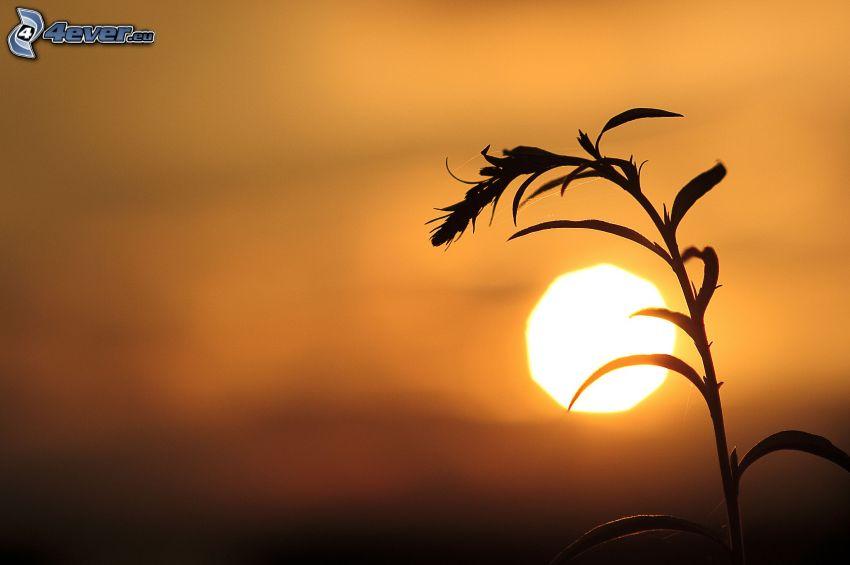 brizna de hierba, puesta del sol