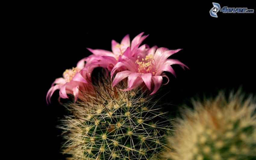 cactus, flores de coolor violeta