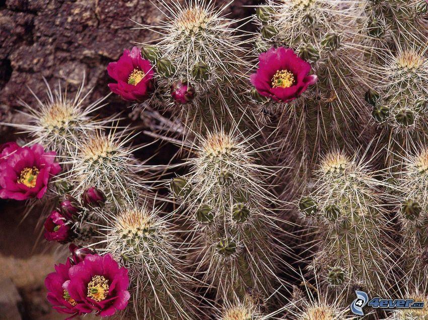 cactuses, flores de coolor violeta