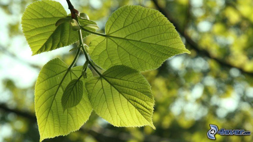 cal, hojas, hojas verdes, rama