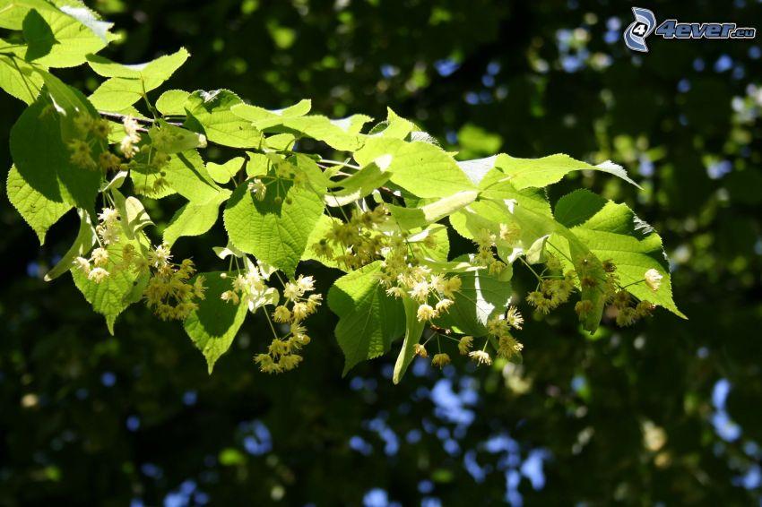 cal, ramita, hojas verdes