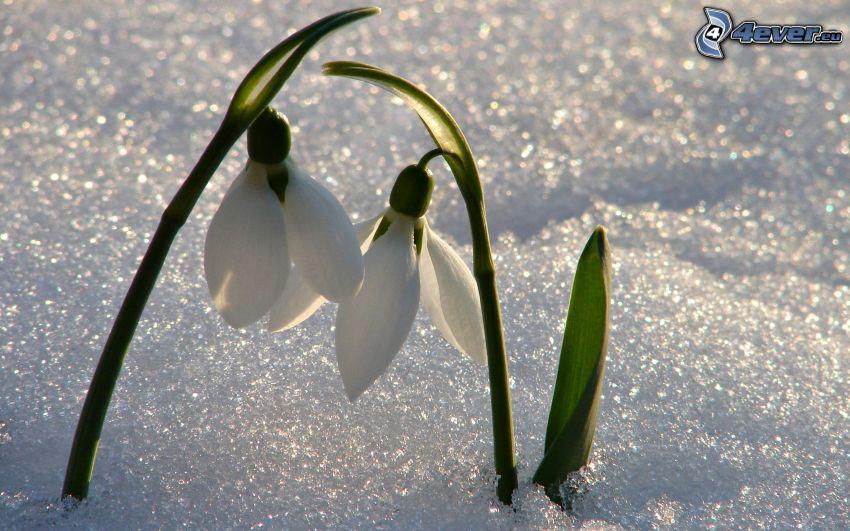 campanilla de invierno, nieve
