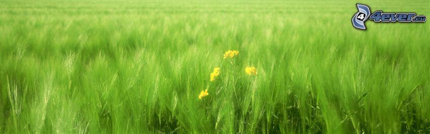 campo, colza de aceite