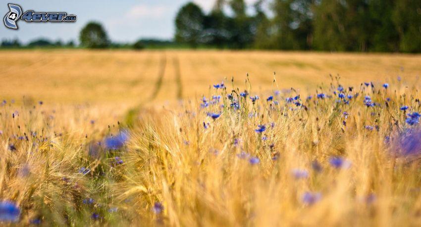 campo, flores de color azul
