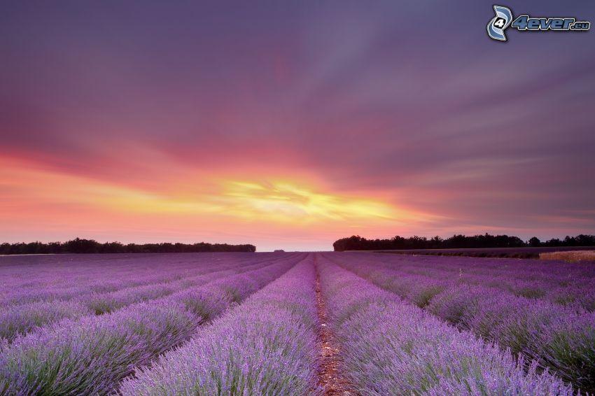 campo de lavanda, cielo púrpura