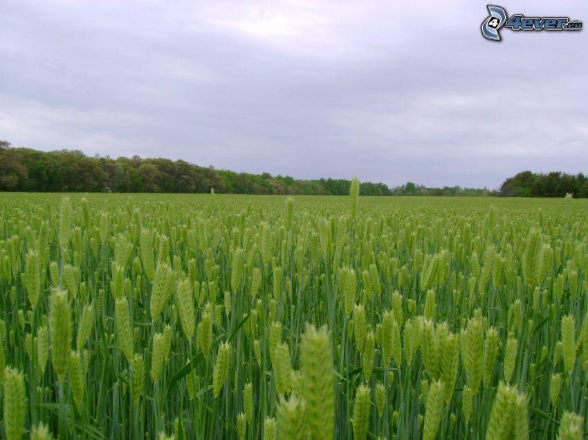 campo de maíz verde, cebada, bosque