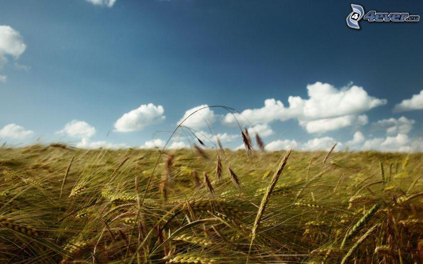 campo de trigo, nubes