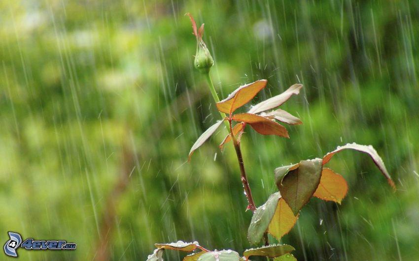 capullo de una rosa, lluvia
