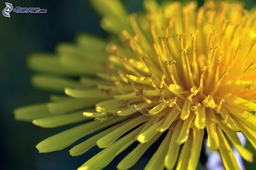 carlina, flor amarilla