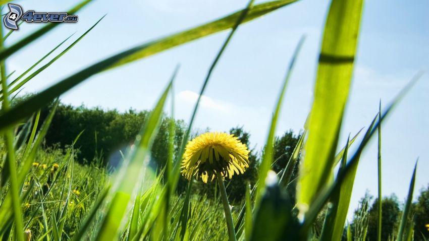 carlina, paja de hierba