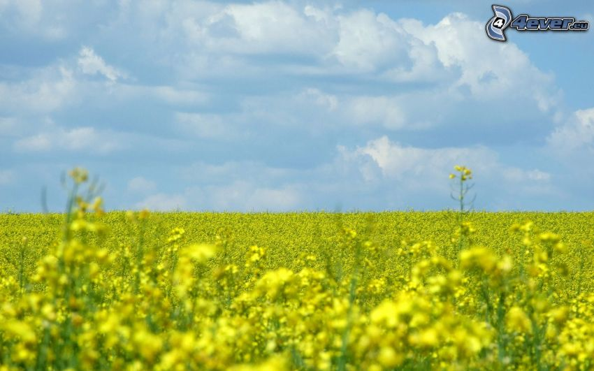 colza de aceite, campo, cielo