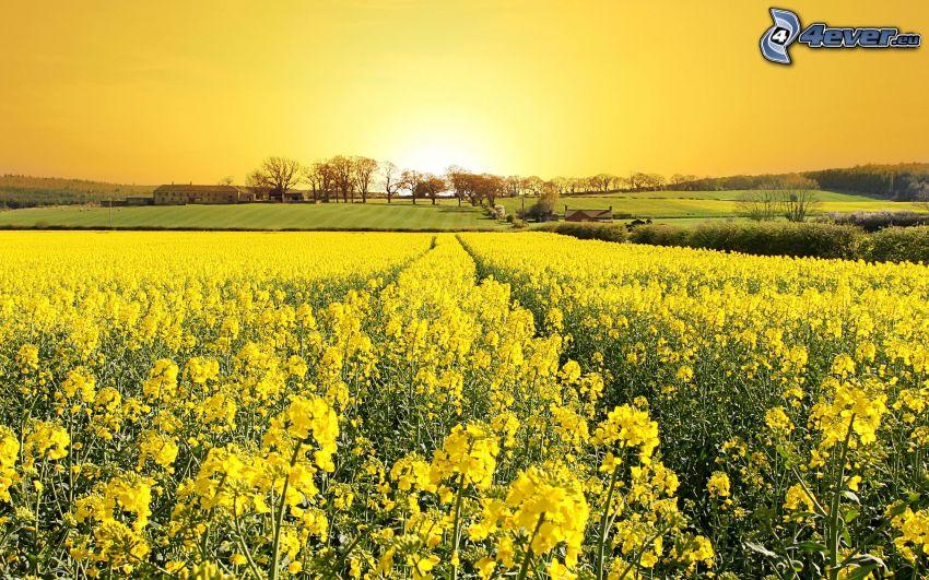 colza de aceite, campo, puesta del sol