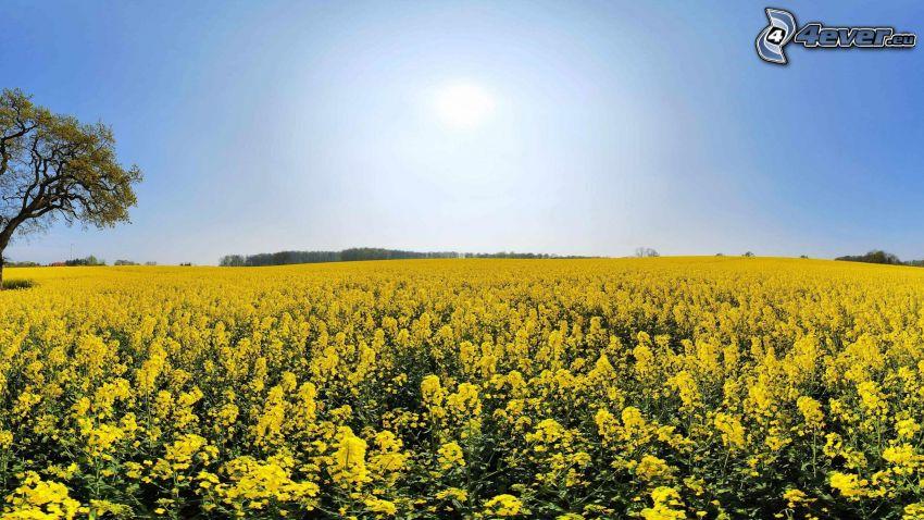 colza de aceite, campo amarillo