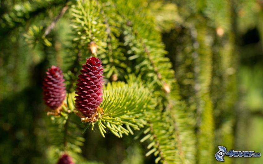 conos, ramas de hoja perenne