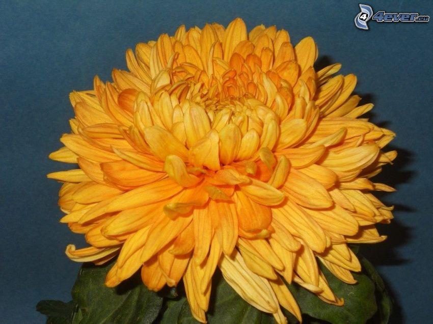 Crisantemos, flor de naranja