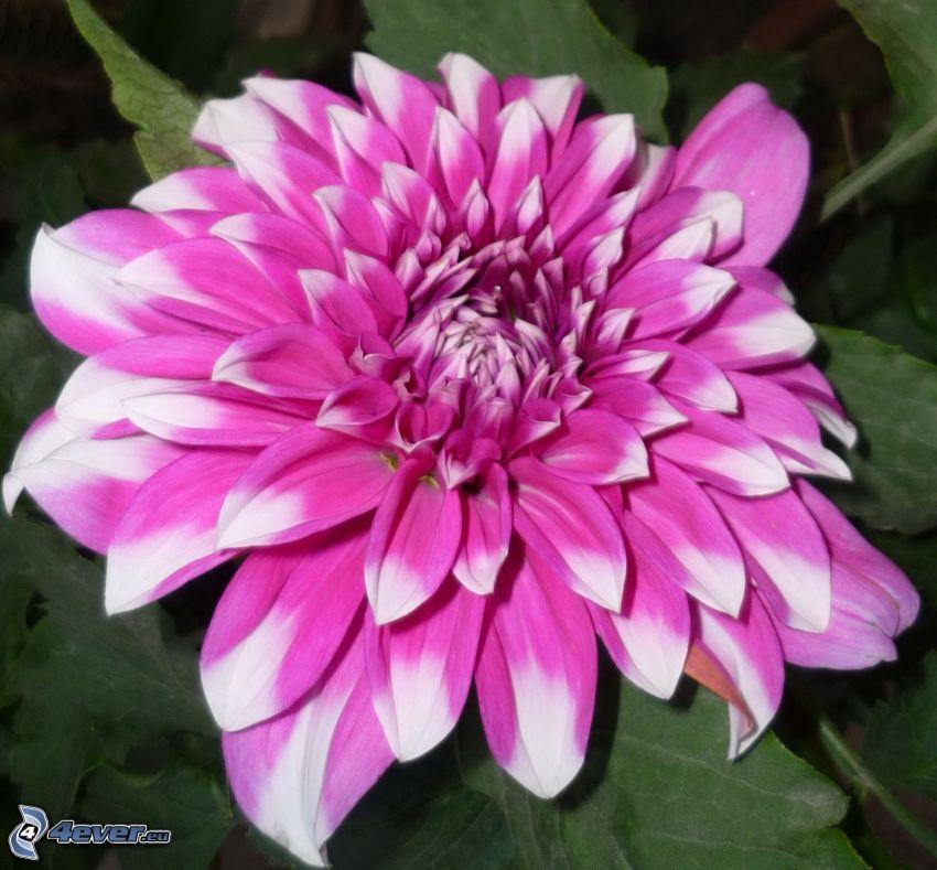 Crisantemos, flor púrpura