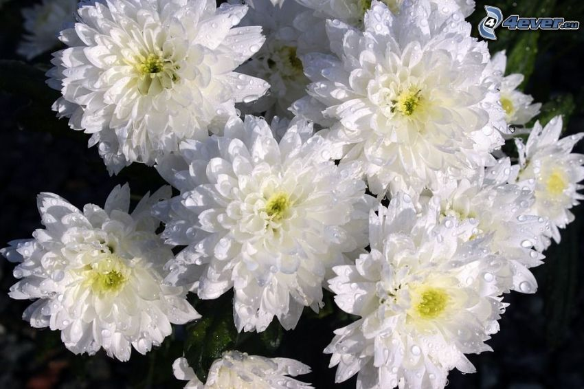 Crisantemos, flores blancas