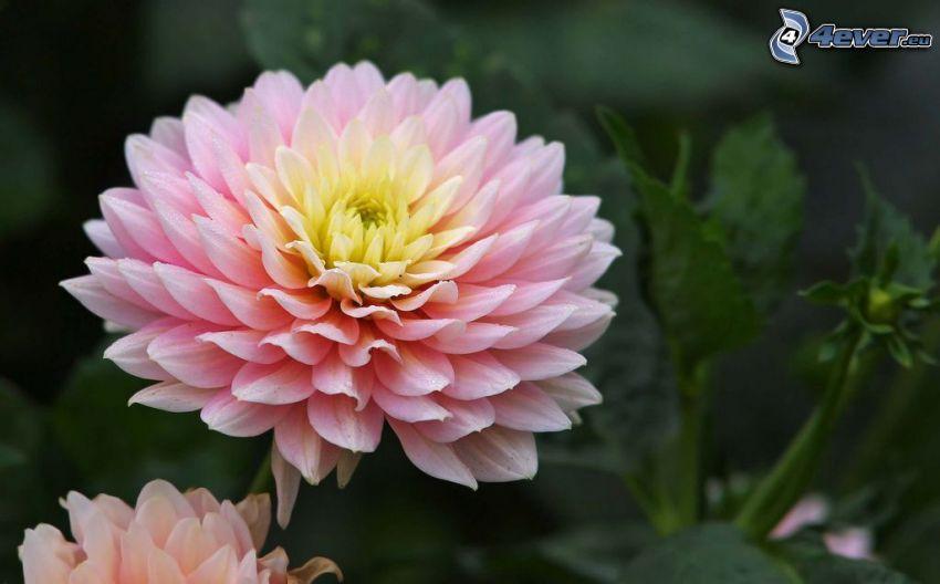 Crisantemos, flores de color rosa