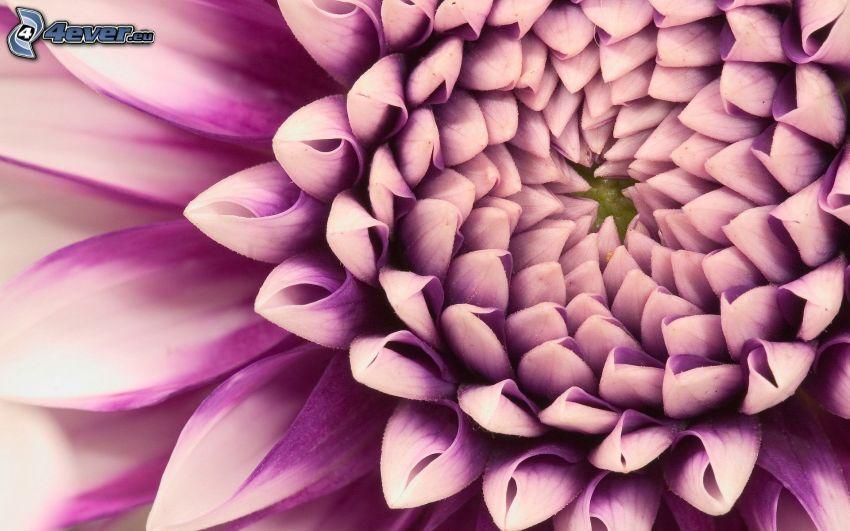 dalia, flor púrpura