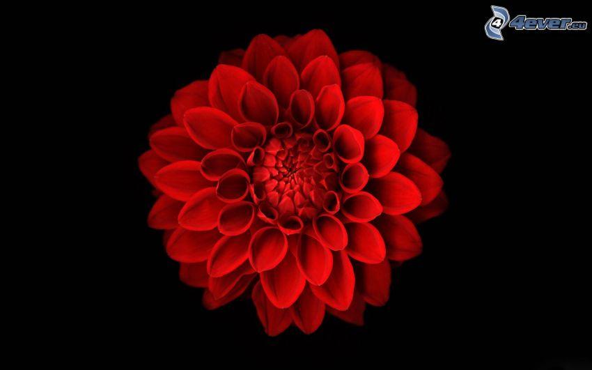 dalia, flor roja